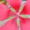 Hibiscus coccineus, sin hibiscus cannabinus