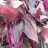 Tradescantia zebrina 'Purpusii'