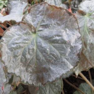 Begonia 'Pearlii'