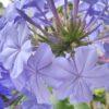 Plumbago capensis Bleu Fonce'