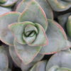 Cactus & Succulente