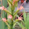 Hedychium angustifolium