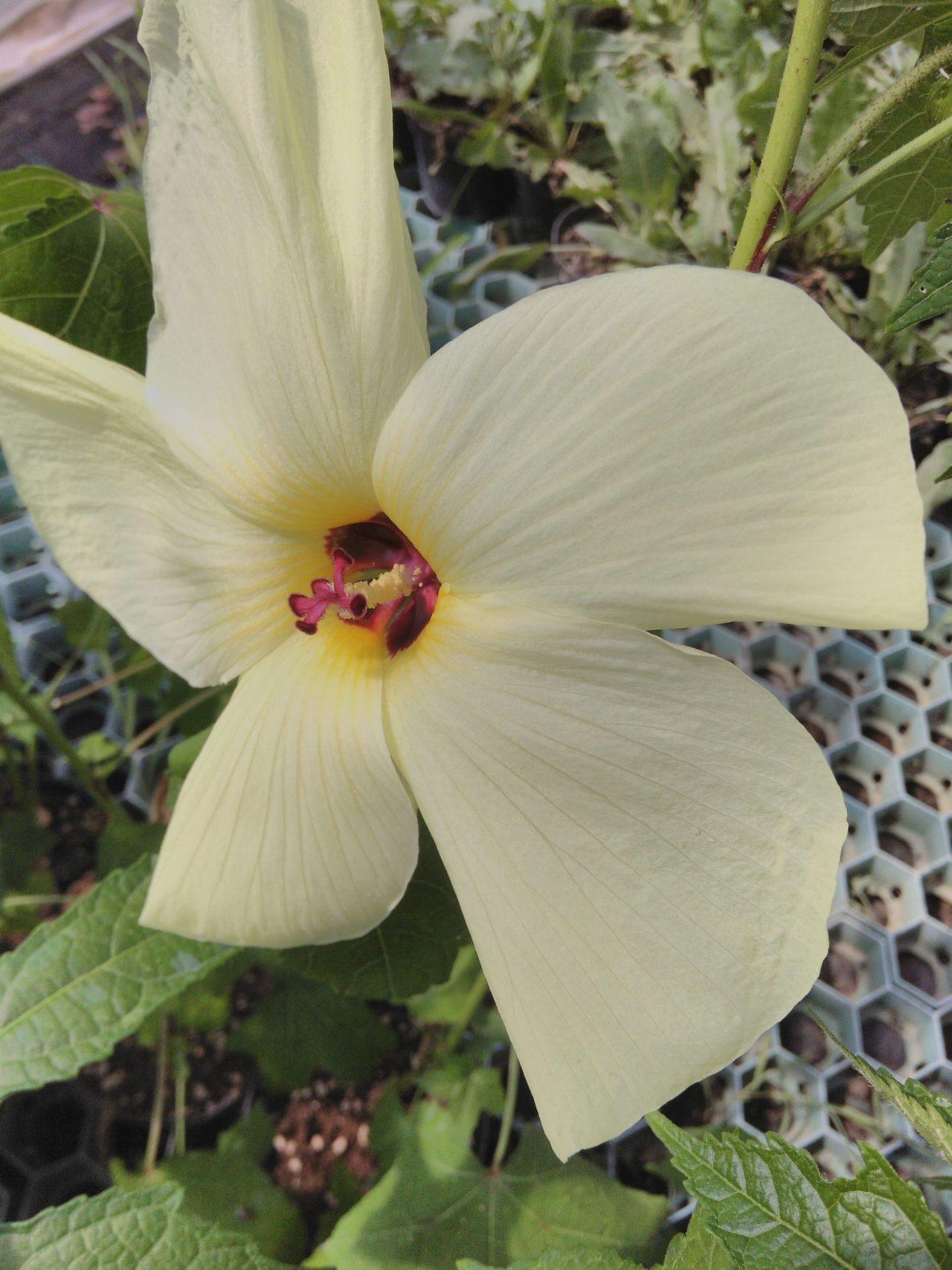 Hibiscus manihot sin. Abelmoschus manihot
