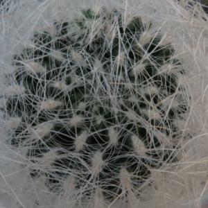 Neoporteria nidus