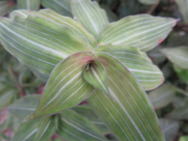 Callisia elegans sin. Sectrasea striata