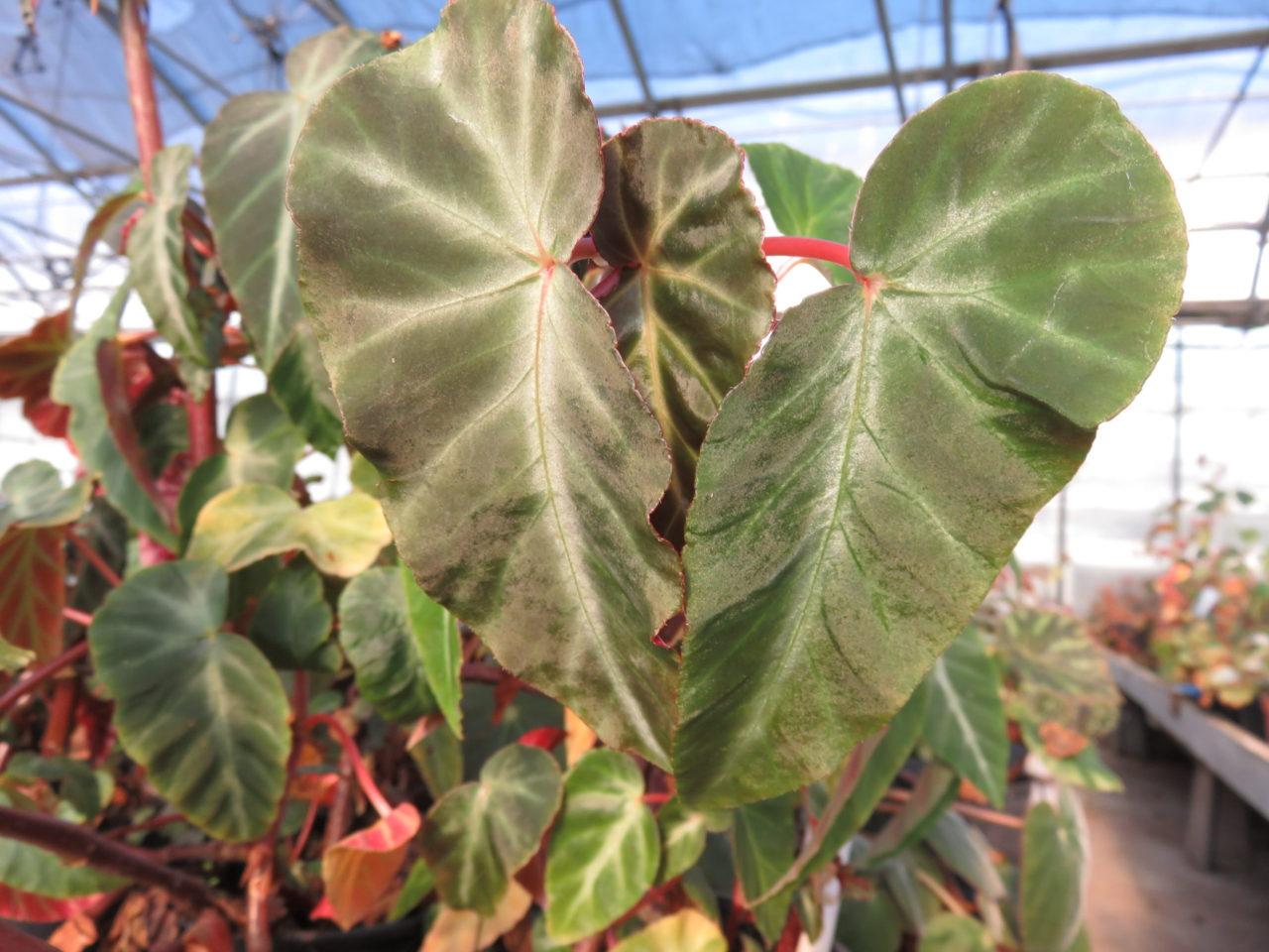 Begonia angularis sin. Begonia zebrina