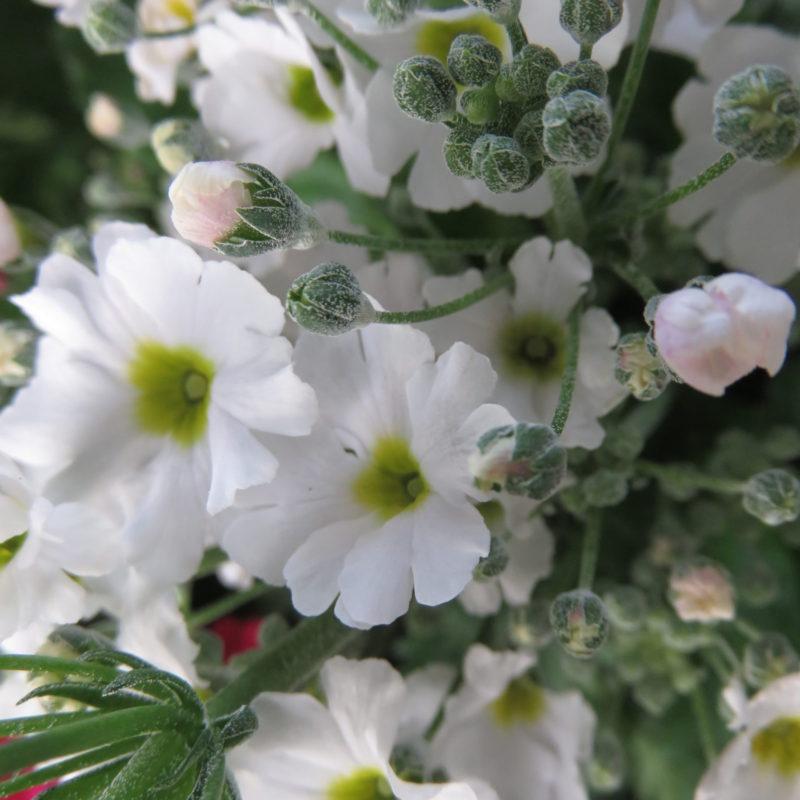 Primula malacoides