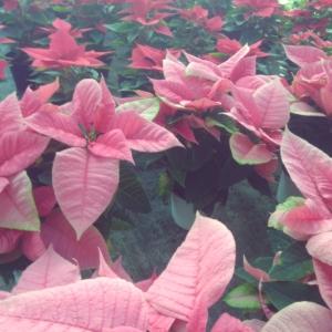 Poinsettia pulcherrima