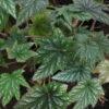 Begonia wollnyi