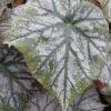 Begonia 'Scherzo'