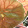 Begonia scharffii sin. Begonia haageana