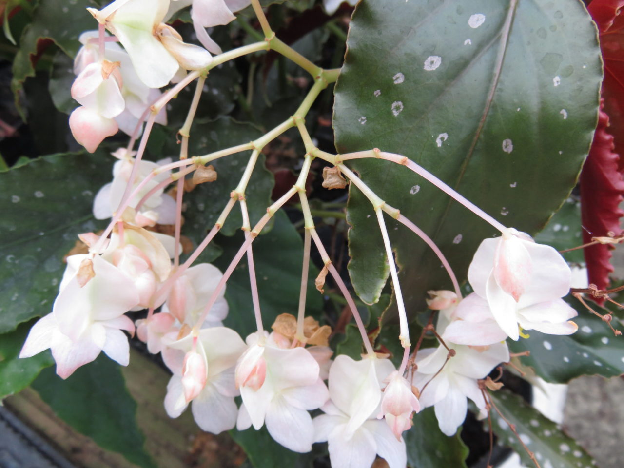 Begonia 'Papillon'