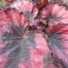 Begonia 'Red Robin'