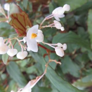 Begonia boisiana