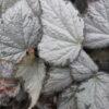 Begonia 'Queen Olympus'