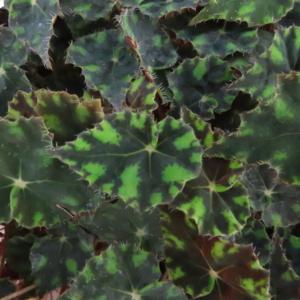 Begonia 'Riolee'