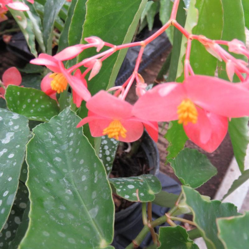 Begonia albo-picta var. rosea