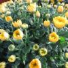 Crisantemi in vaso e recisi