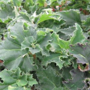 Begonia 'Dr Spelios'