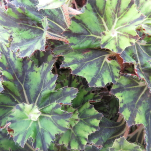 Begonia 'Brown Twist'