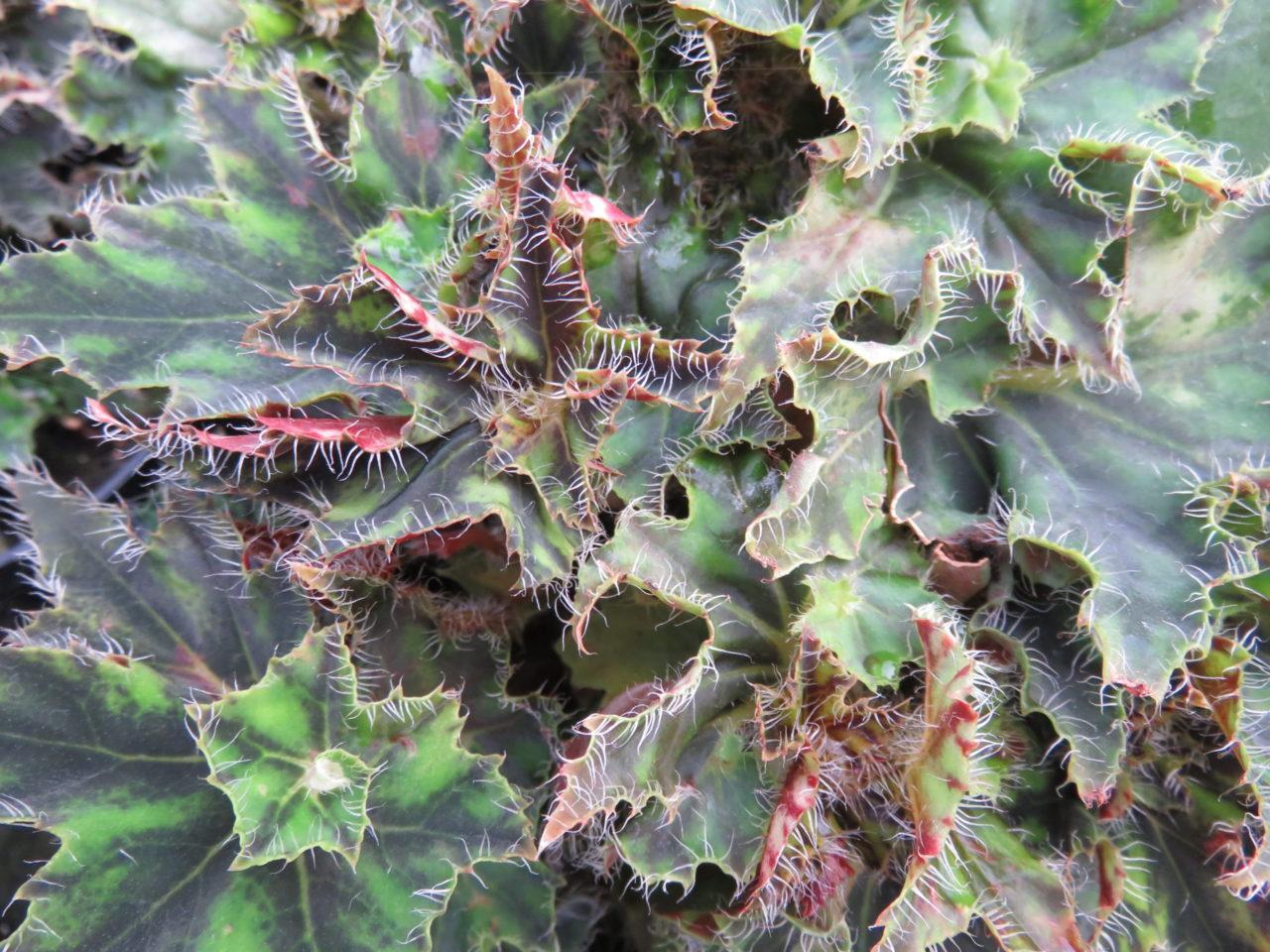 Begonia 'Bokit'