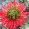 anemone fulgens multi petala