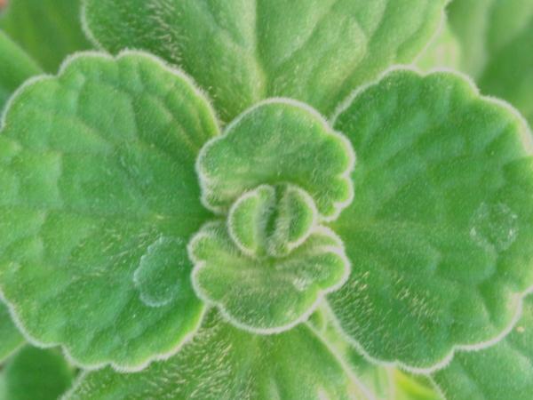 Plectranthus amboinicus 'Origano Cubano'