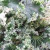 Begonia 'Crispa Verde' sin. 'Oliver Twist'