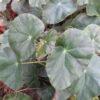 Begonia ' Bessie Buxton'