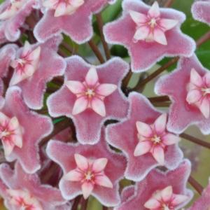 Hoya pubicalyx 'Silver Pink'