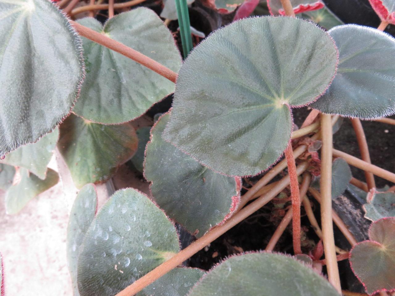 Begonia acetosa