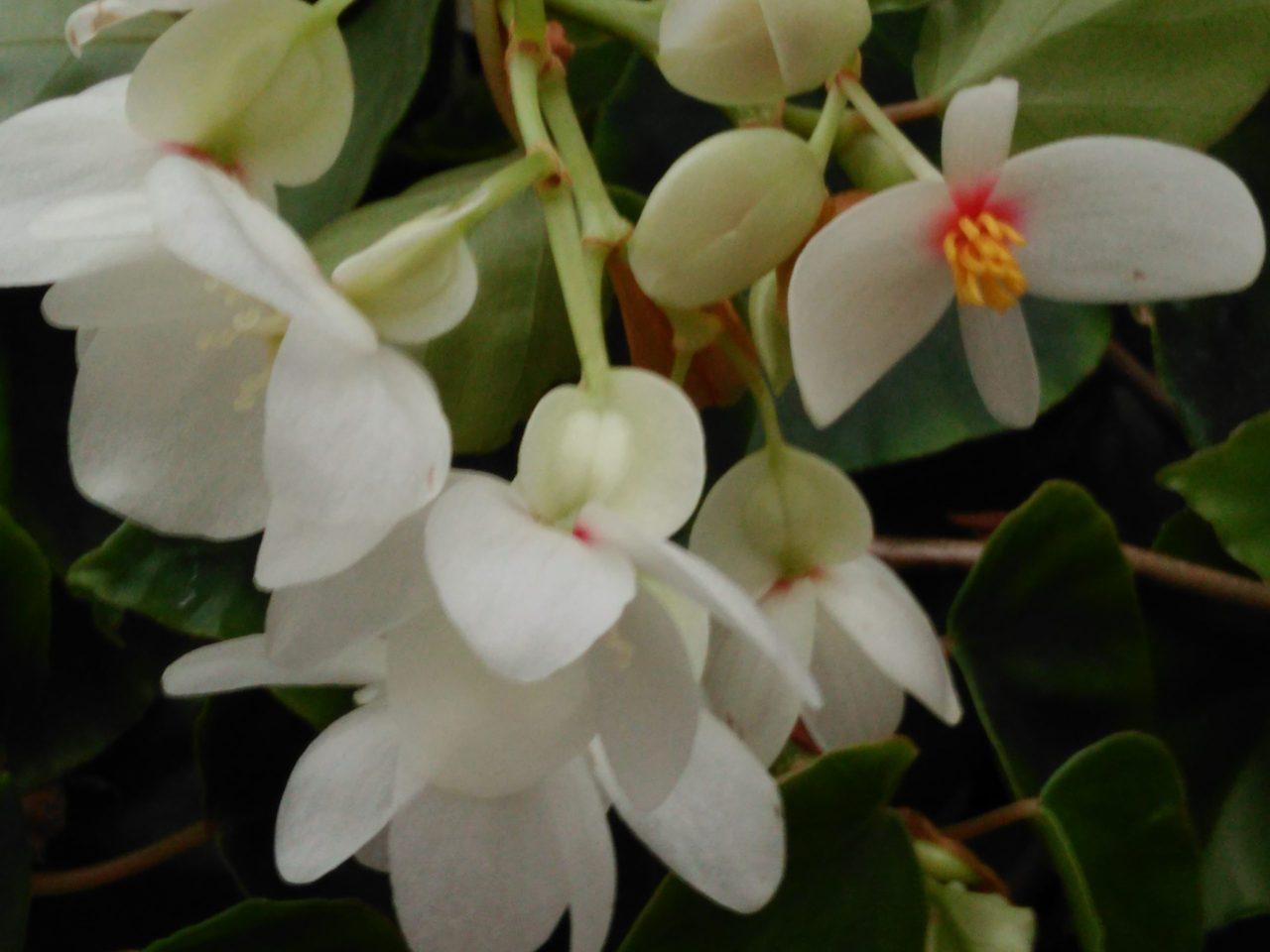 Begonia solananthera