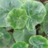 Begonia odorata