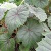 Begonia sericoneura