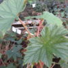 Begonia paranaensis