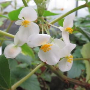 Begonia dipetala
