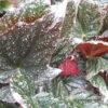 Begonia 'Tea Drop'