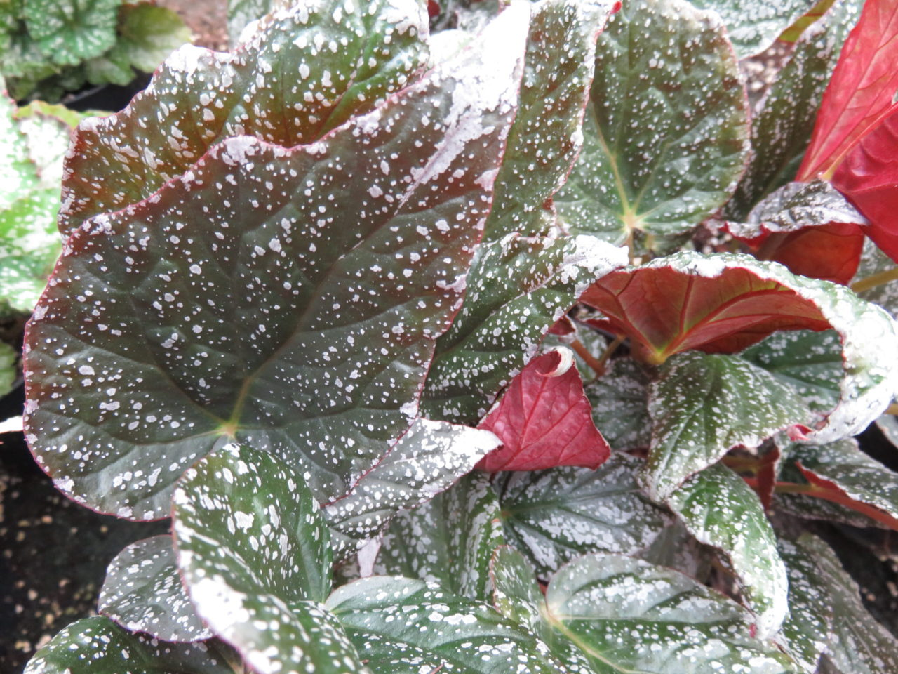 Begonia 'Tea Drop'