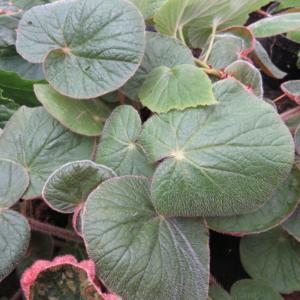 Begonia paleata