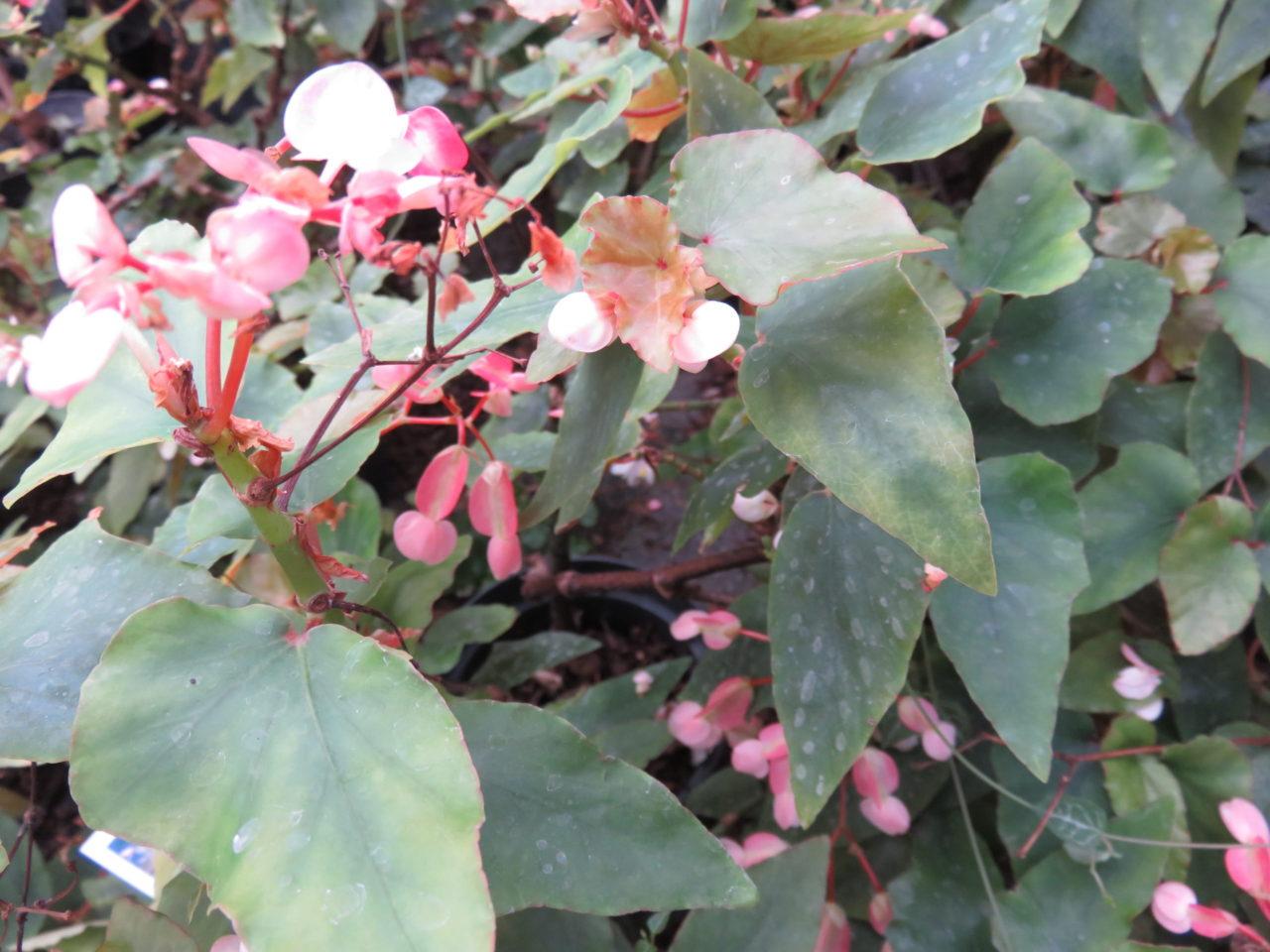Begonia 'Thimothee'