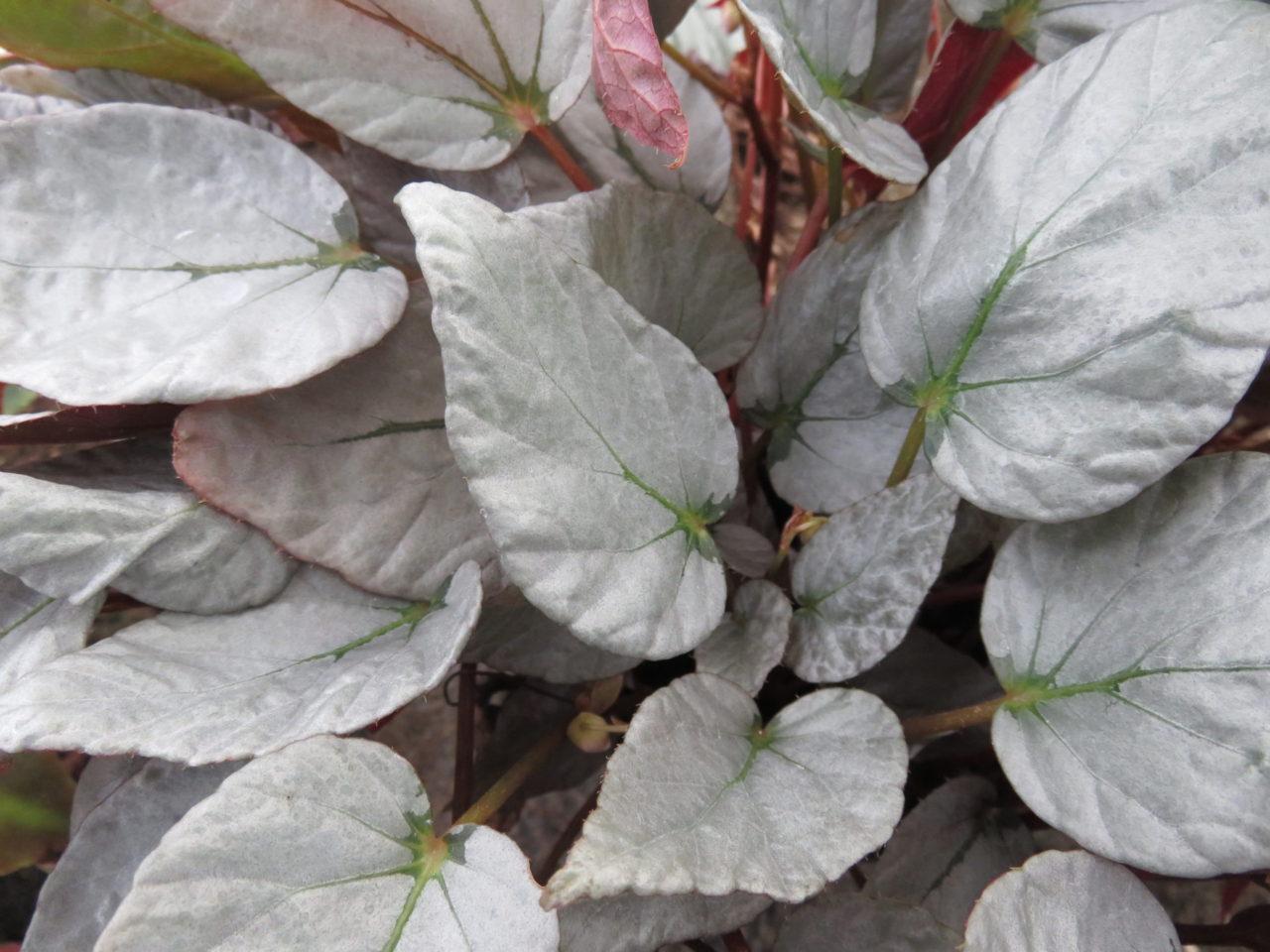 Begonia 'Paree'