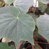 Begonia itaguassuensis