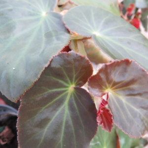 Begonia 'Stormbird'