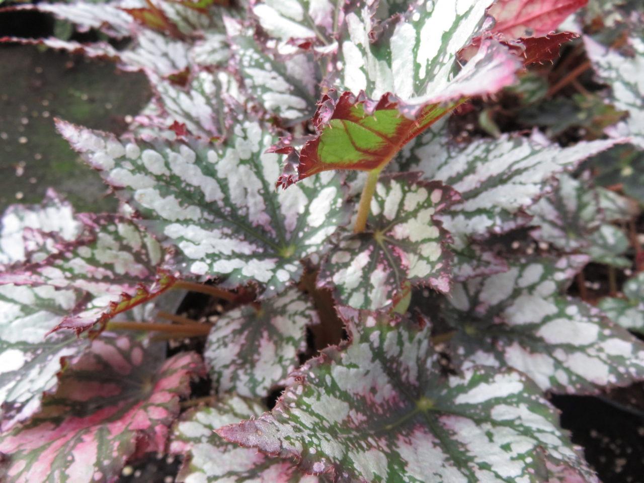 Begonia 'Radiant'
