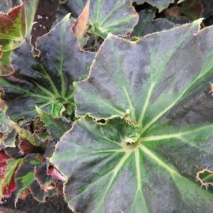 Begonia 'Baby Douk'