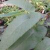 Begonia egregia
