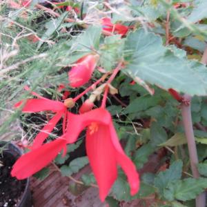 Begonia boliviensis 'Firecracker'