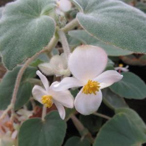 Begonia tomentosa