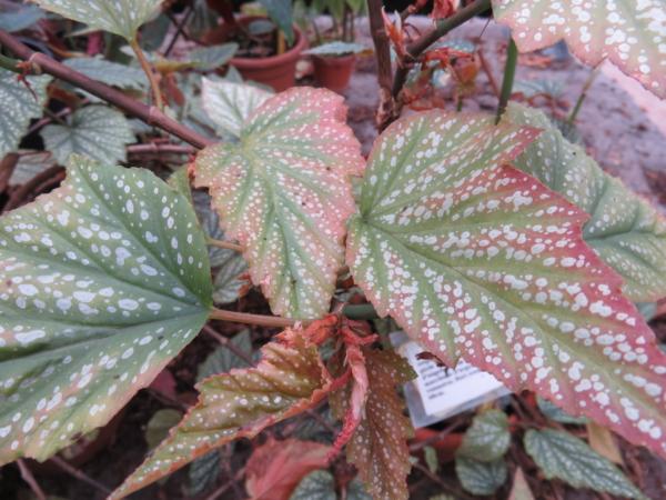 Begonia 'Argenteo- guttata'