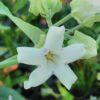 Arauja sericofera, pianta della seta
